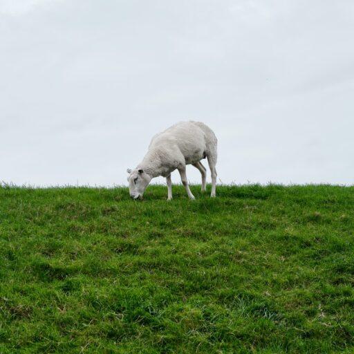 hindeloopen schaap