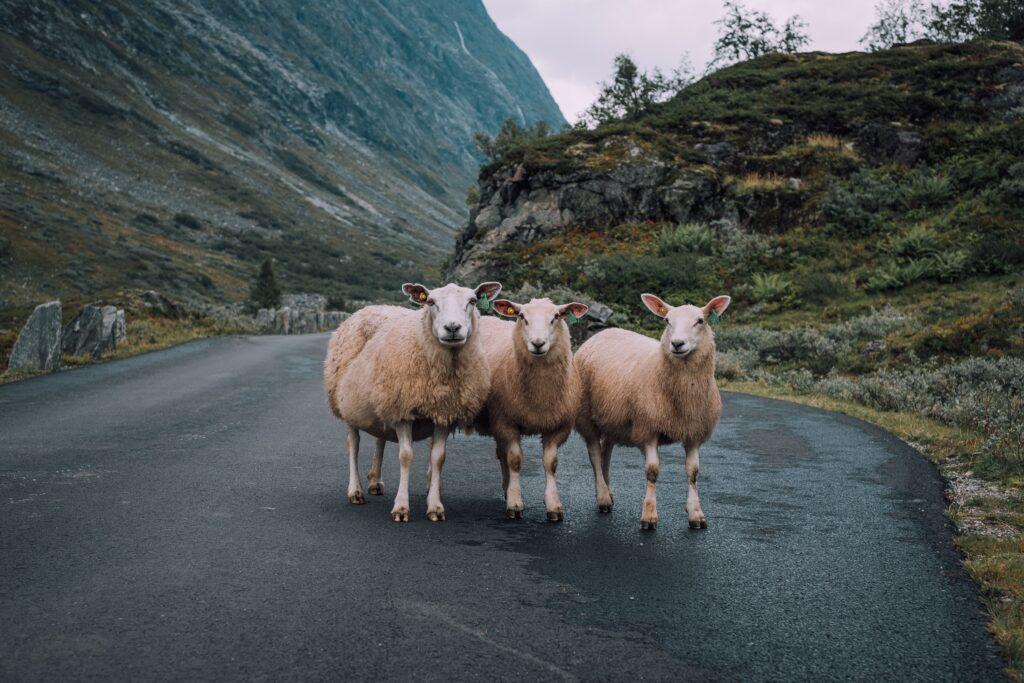 schapen schotland